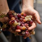 hands holding cluster of grapes